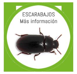 Plaga Ganadera de Escarabajos